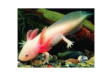 Axolotl White (Mexican Walking Fish)