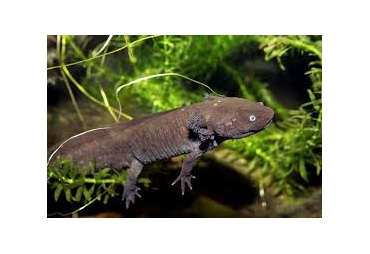 Axolotl Black (Mexican Walking Fish)