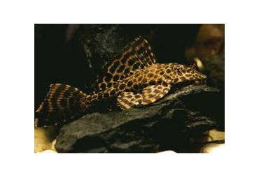 Plecostomus Catfish