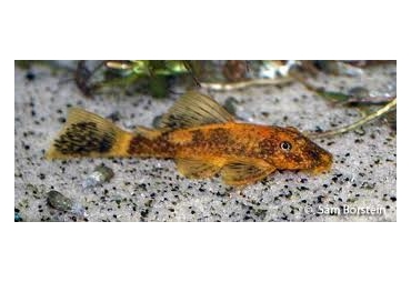 Calico Bristlenose Catfish