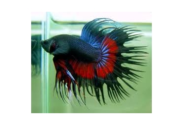 Male Crowntail Fighting Fish