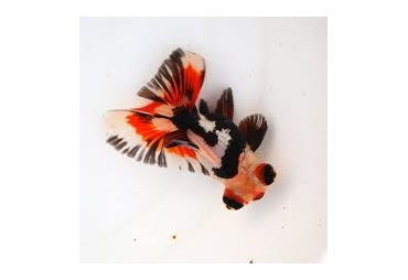 Butterfly Tail